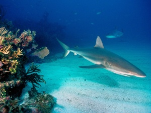 gray-reef-sharks-normal